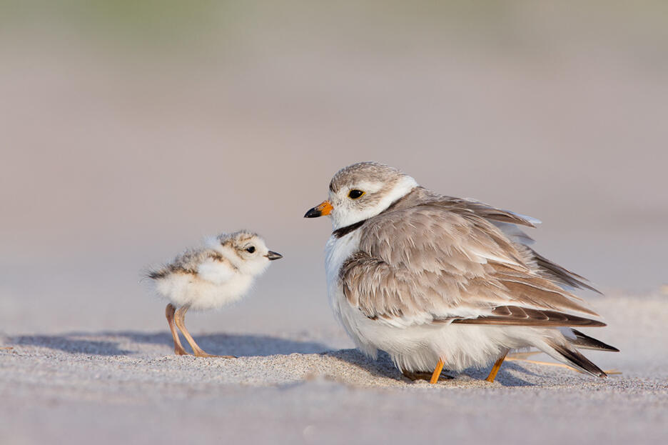 Photo Of The Day Piping Plover Audubon