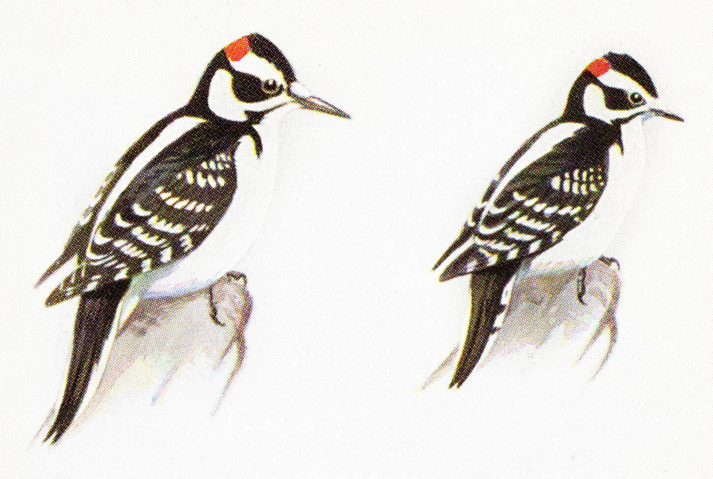 How To Tell A Hairy Woodpecker From A Downy Woodpecker Audubon
