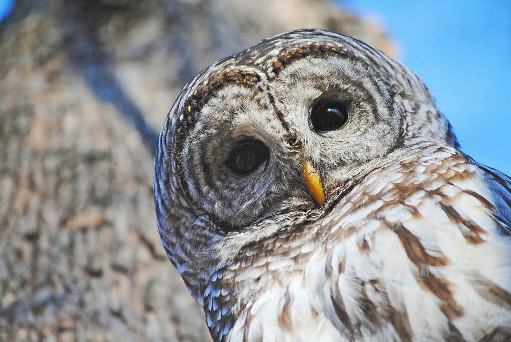 No, Barred Owls Are Not Trying to Kill You   Audubon