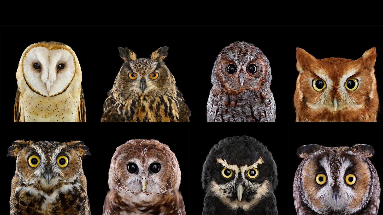 Night Owls May Face Special Challenges >> Who S Who Audubon