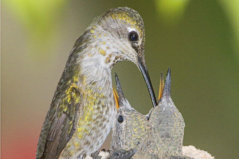 The Gift of Caring for Baby Hummingbirds | Audubon