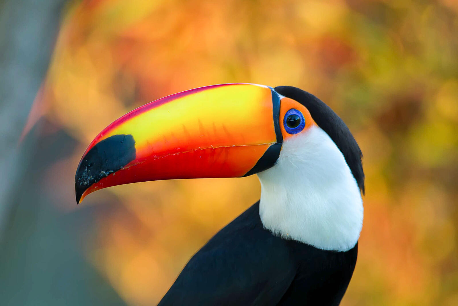 How Toucans Use Their Bills To Keep Cool Audubon