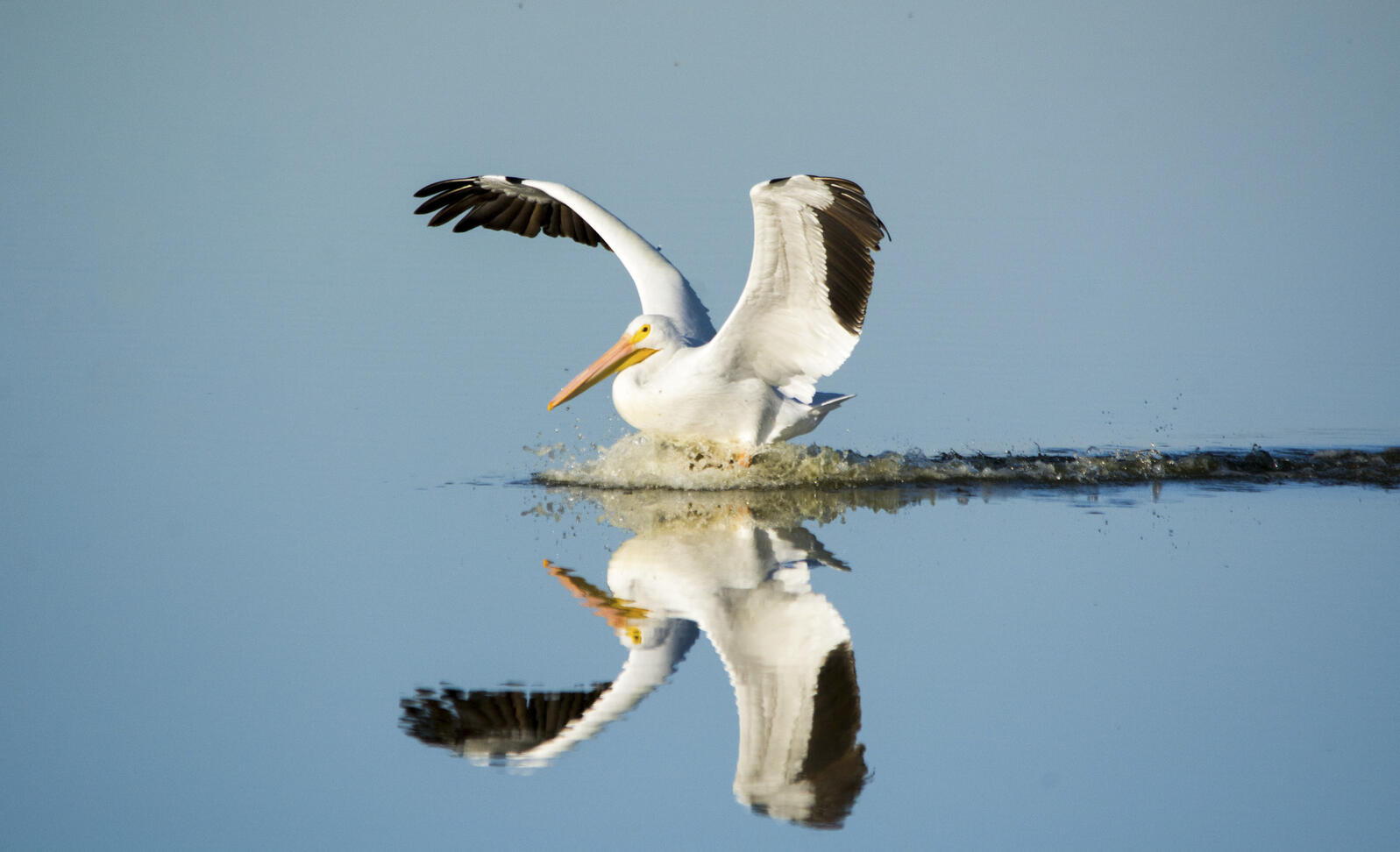 American White Pelican. Photo: Georgia Wilson/GBBC