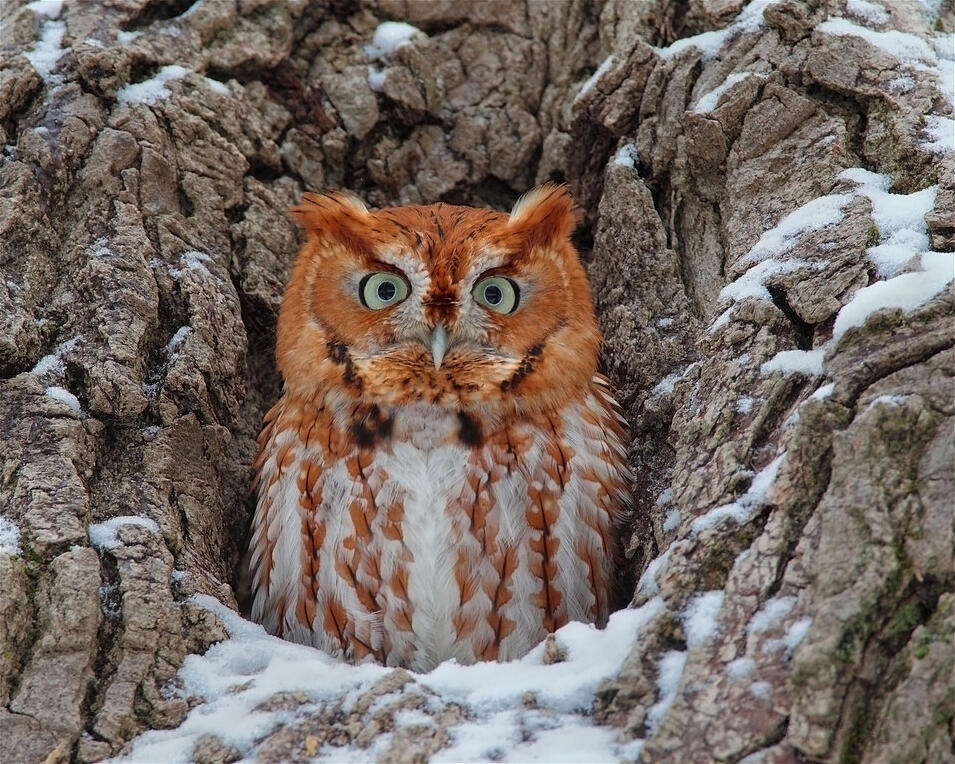 What Would A Screech Owl Want With A Blind Snake Audubon