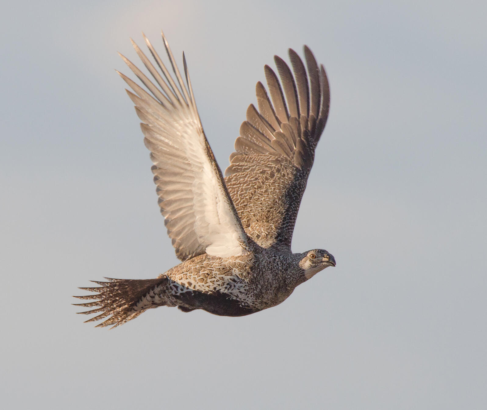 Greater Sage-Grouse in flight