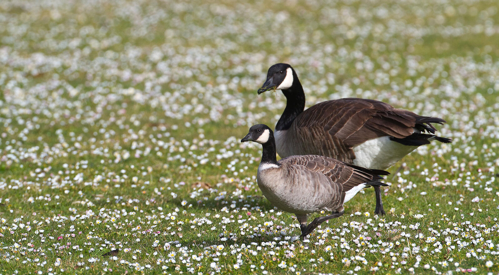 Differences Between Canada Goose and Cackling Goose | Audubon