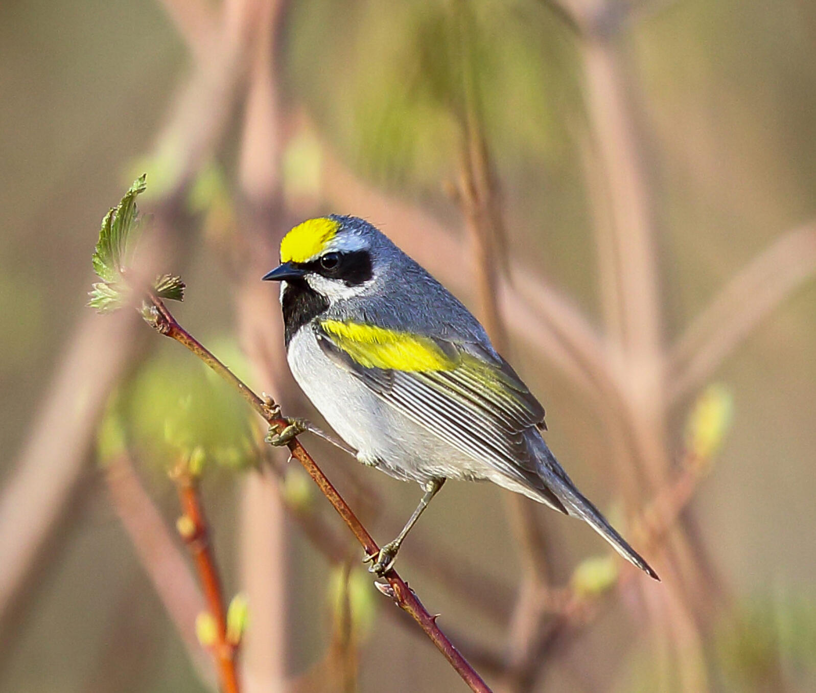 Golden-winged Warbler. Photo: Charlie Trapani/Audubon Photography Awards