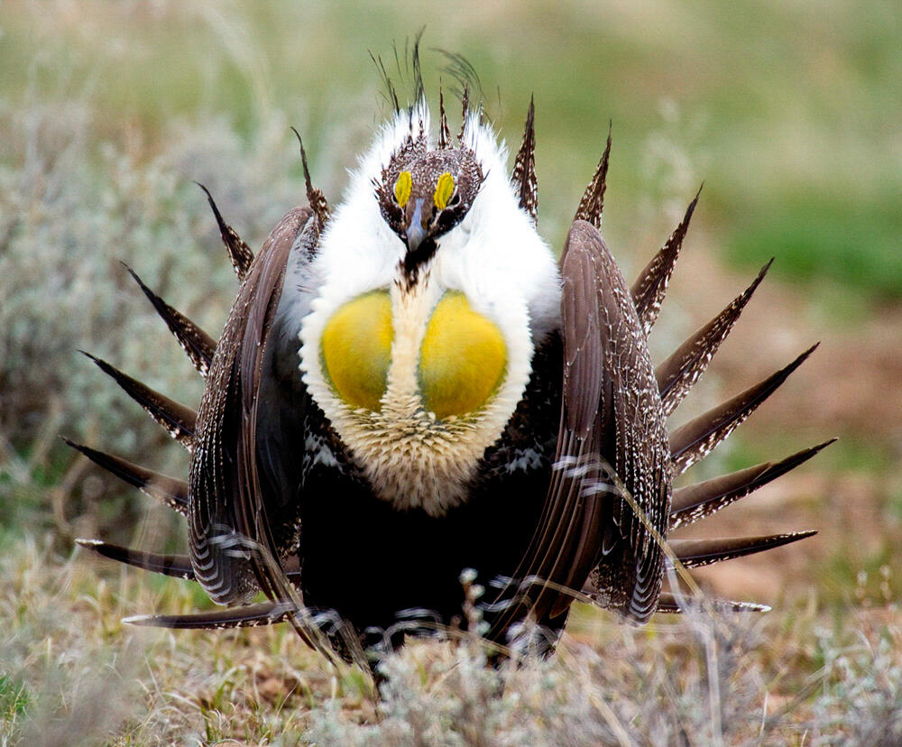 Greater Sage-Grouse. Photo: Vida Ward/Audubon Photography Awards