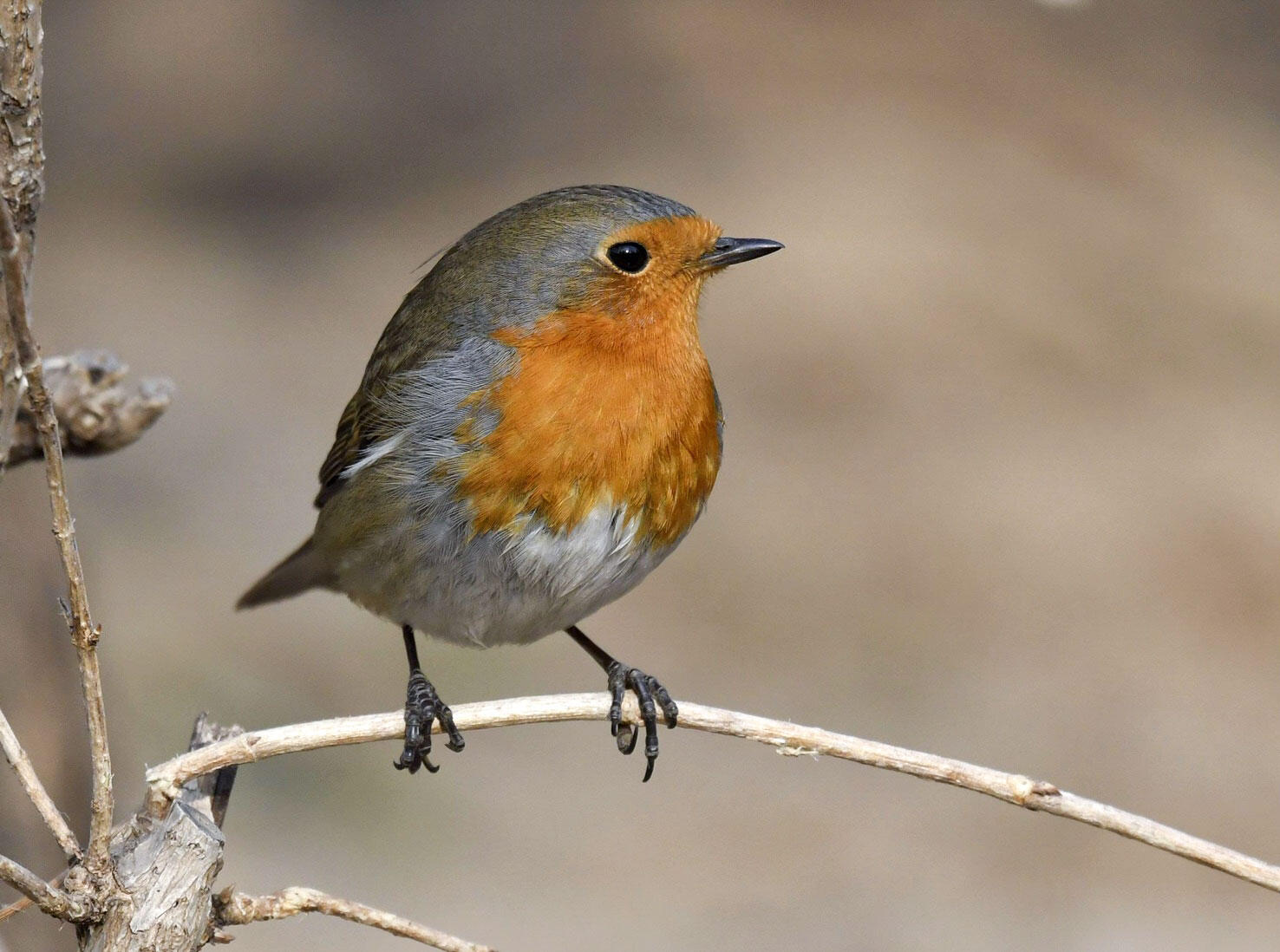 A Vagrant European Robin Is Drawing Huge Crowds in China ...