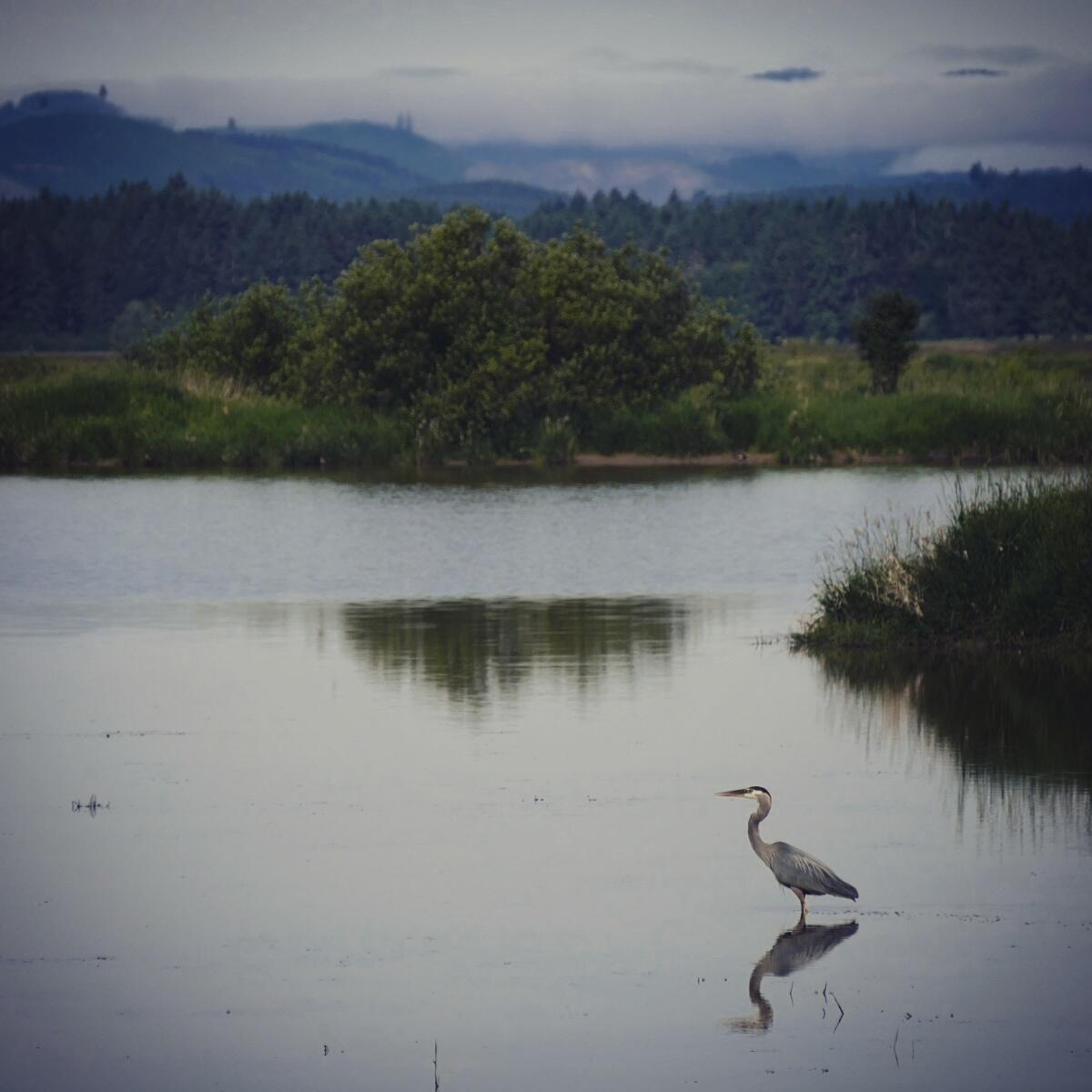 Albino Great Blue Heron a Great Blue Heron Pauses at