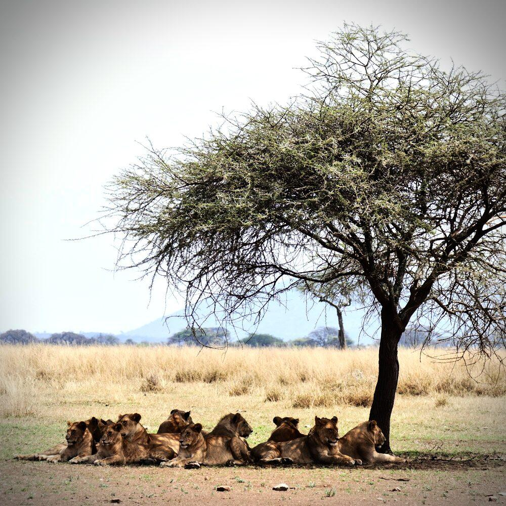 Thirteen lions take a shady siesta at Serengeti National Park.