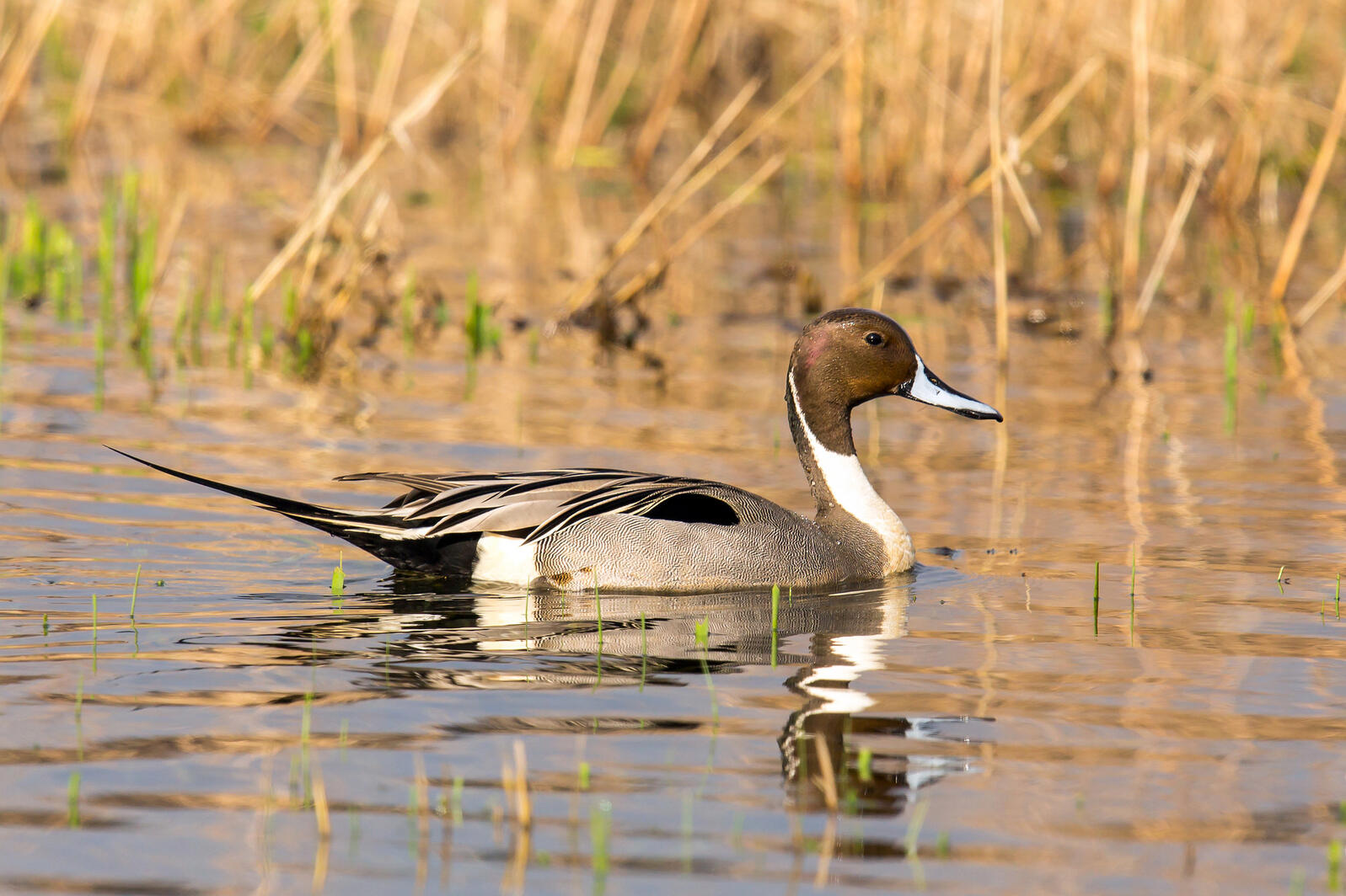 Photo of a Northern Pintail swimming.