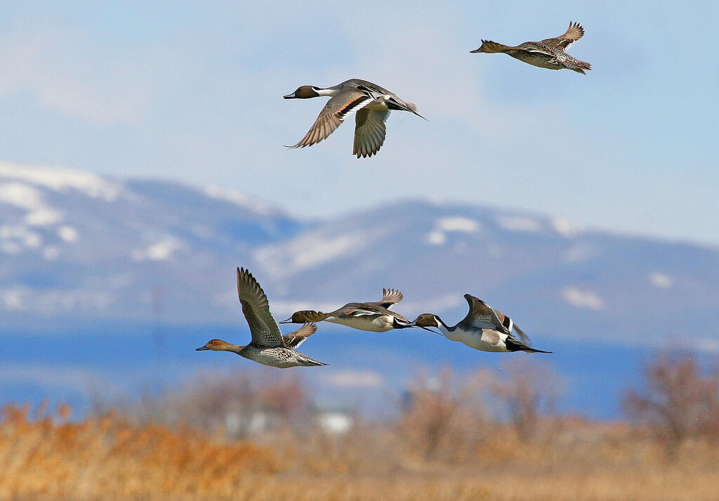 Northern Pintails fly over the Bear River Migratory Bird Refuge in Utah.