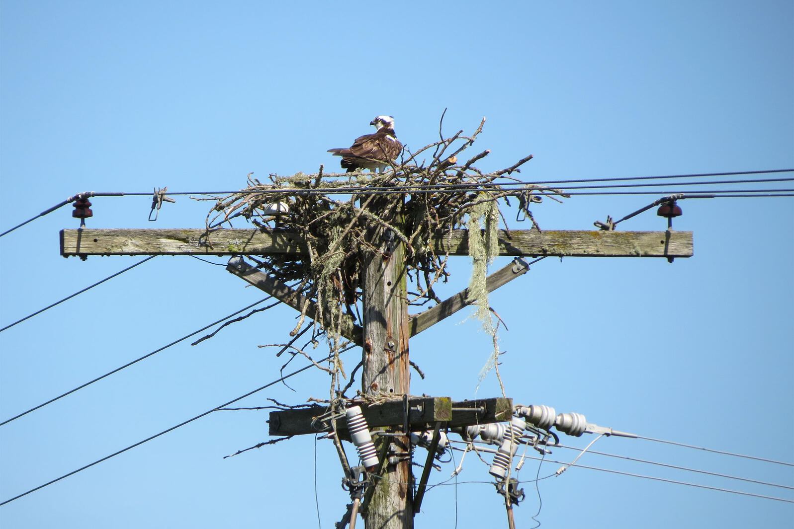 As Ospreys Recover Their Nests Are Sparking Fires And Power