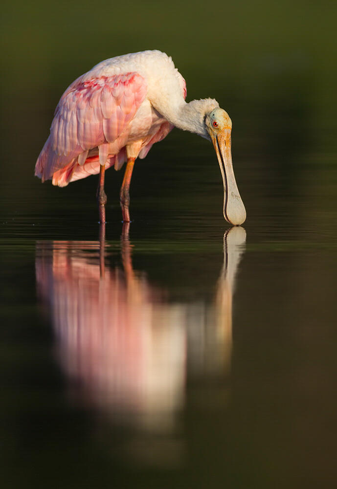 Roseate Spoonbill, photo by Robert Blanchard/Audubon Photography Awards