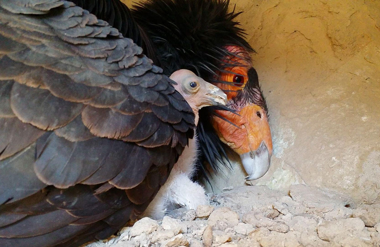 Female California Condor with her newly hatched chick. Photo courtesy Joseph Brandt / U.S. FWS
