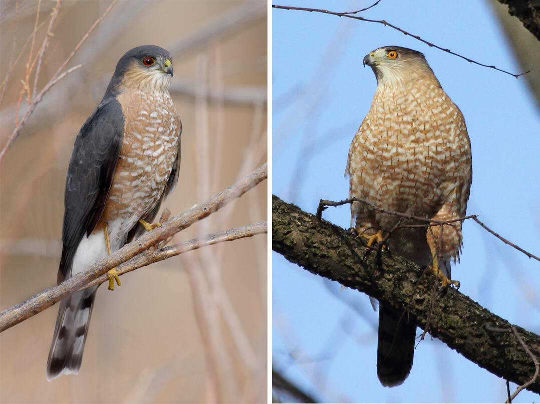 A Beginners Guide To Iding Coopers And Sharp Shinned Hawks Audubon