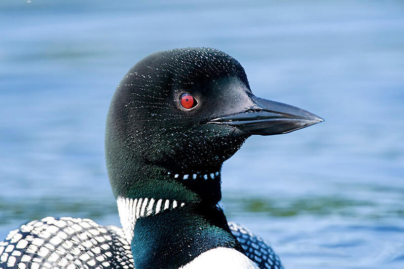 Voices: Common Loon - YouTube