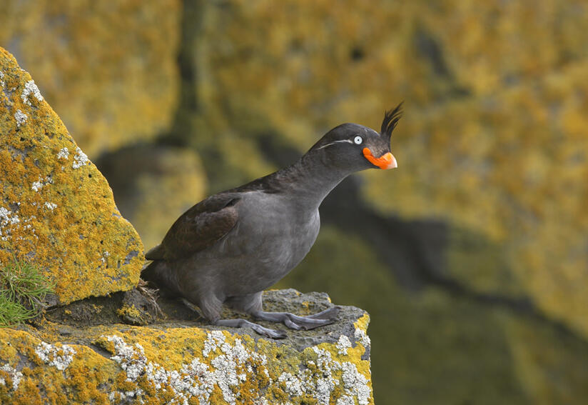 Crested Auklets...