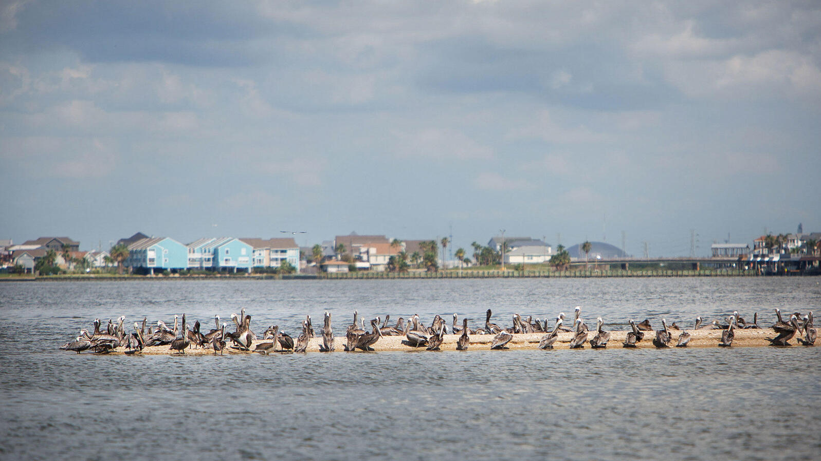 Brown pelicans cluster on a small sand bar island in Galveston Bay, Texas.
