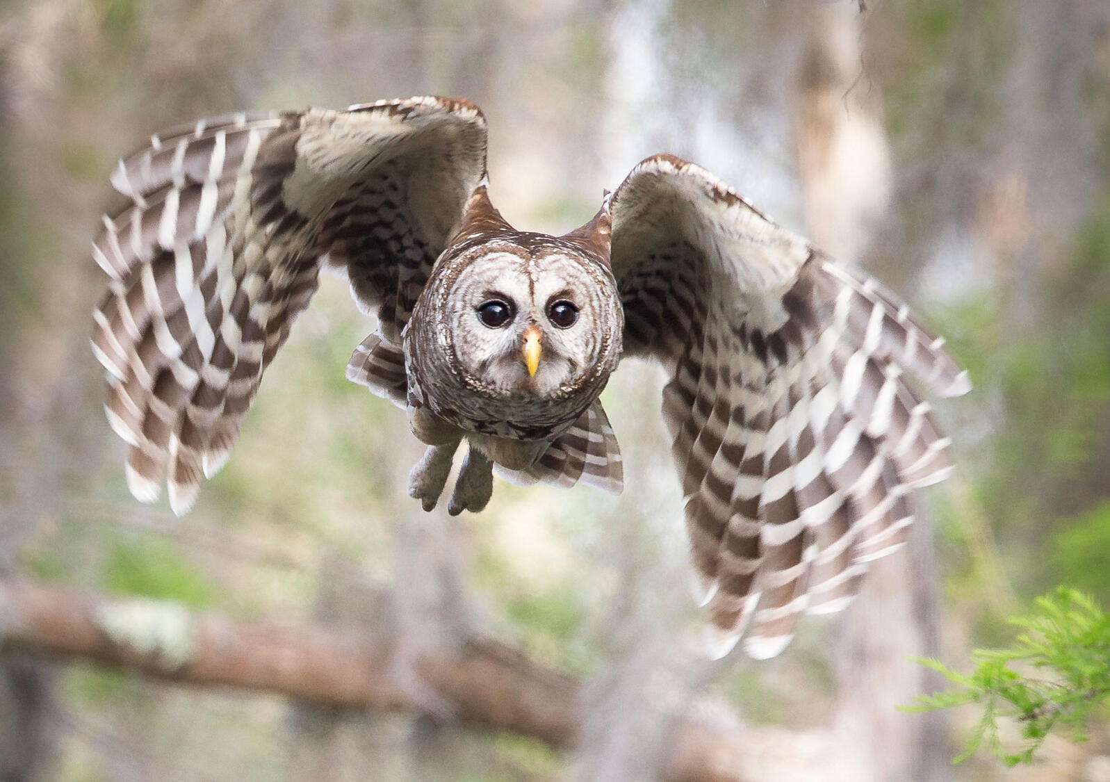 The Silent Flight Of Owls Explained