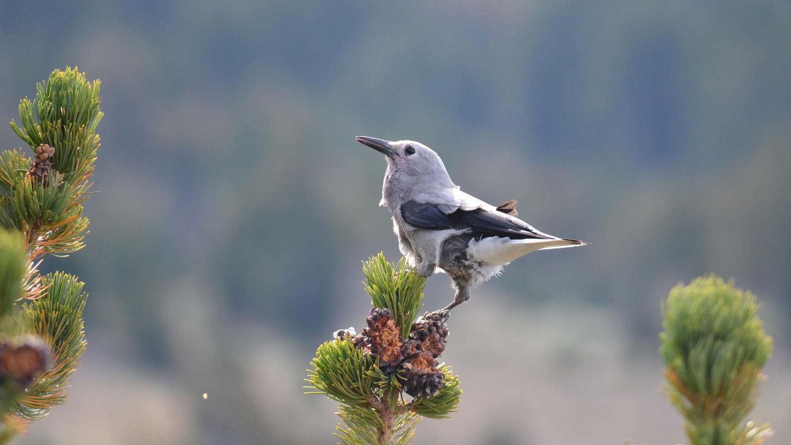 Why Bird Brain Shouldnt Be Considered >> Better Know A Bird The Clark S Nutcracker And Its Obsessive Seed