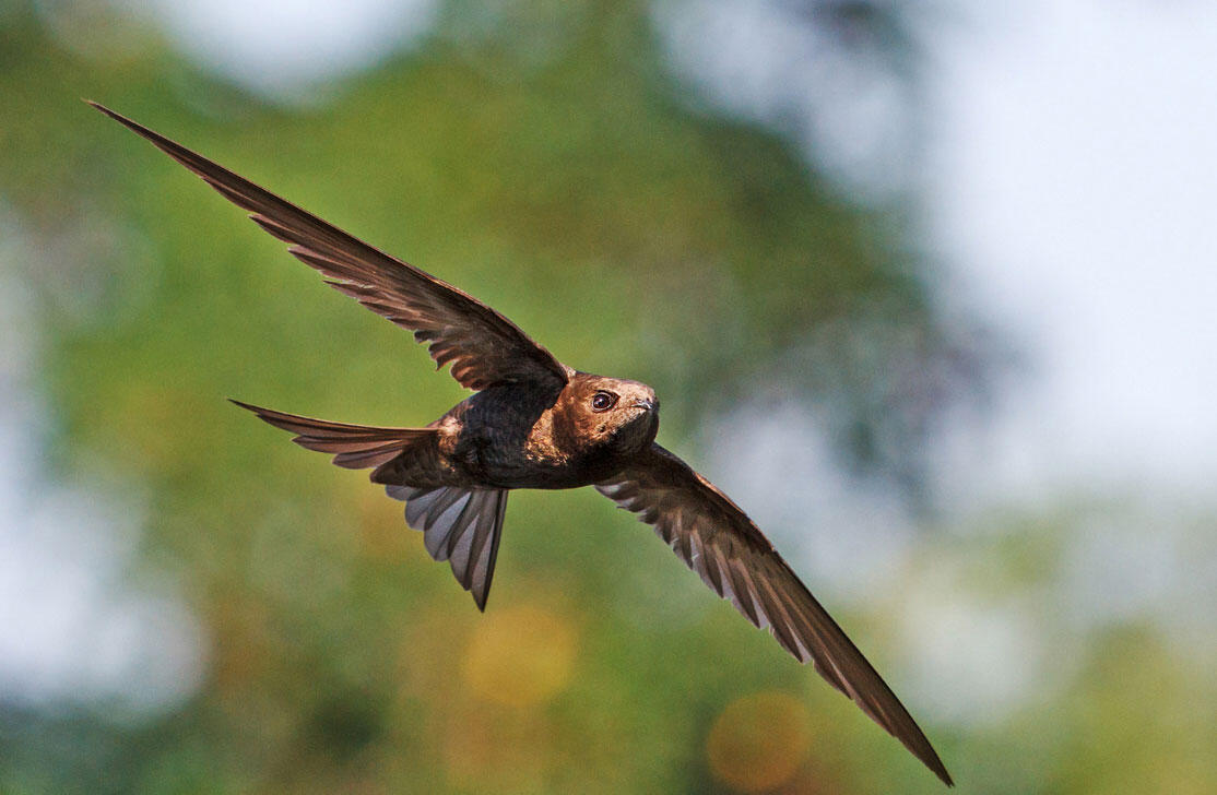 The Common Swift Is No Longer The Fastest Flying Animal