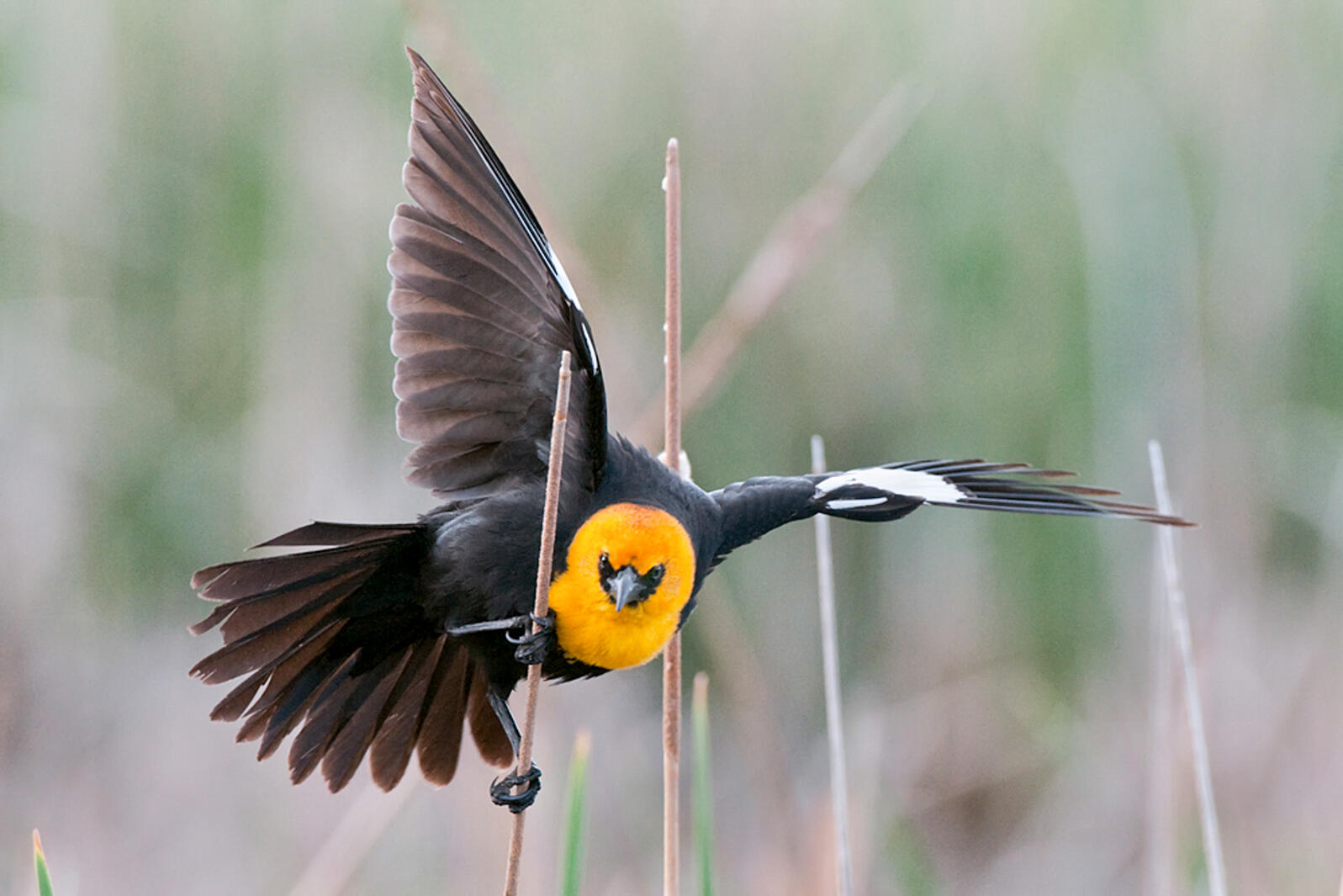 Photo of a Yellow-headed Blackbird. Credit: Gene Putney/Audubon Photography Awards