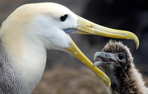 Conservation of Albatrosses and Petrels