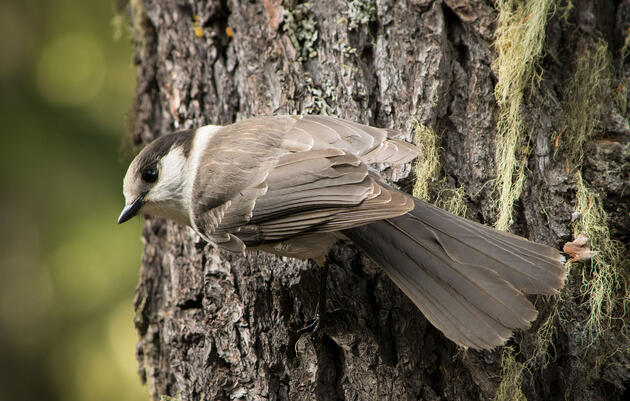 Inside the Controversial Vote to Make the Gray Jay Canada's National Bird