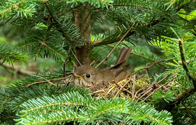 As Climate Change Threatens to Push the Bicknell's Thrush North, Scientists Are Protecting Its Future Habitat Now