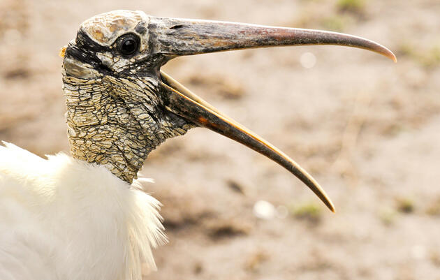 A Bad Climate for Wood Storks