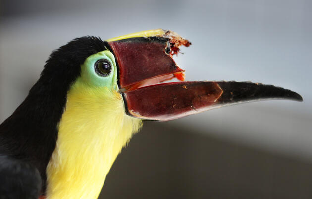 Can 3-D Printing Save This Toucan's Life?