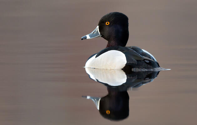 It's Time to Rename the Ring-Necked Duck