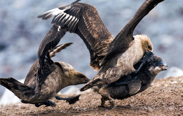 South Polar Skuas Are a Bunch of Bird-Eating Bullies