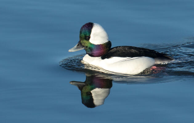 Birdist Rule #106: Go Find Yourself a Bufflehead