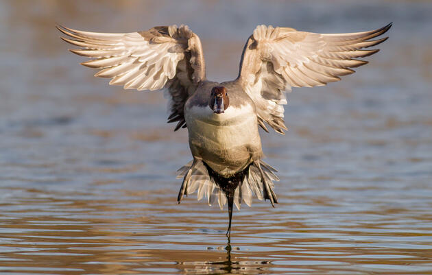 Why Birders and Waterfowl Hunters Are Natural Allies