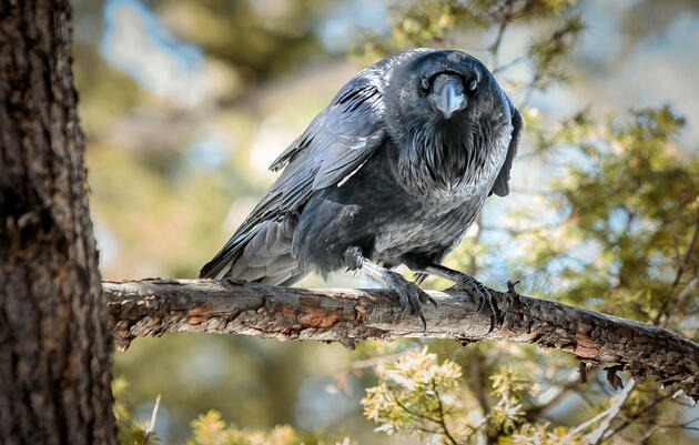 Listen to the Sweet, Soft Warble Common Ravens Sing to Their Partners