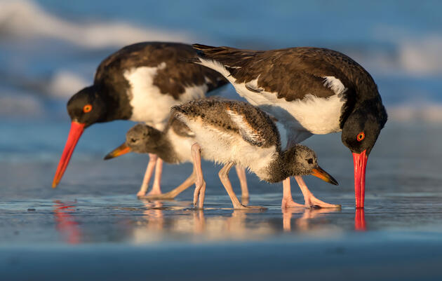 Plastic Threatens Even Our Common Shorebirds, Study Warns