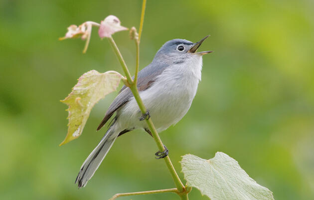 Do You Know What a Blue-gray Gnatcatcher Sounds Like?