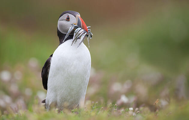Audubon Backs New Bill to Bolster Small Fish That Struggling Seabirds Need to Survive
