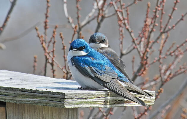 Spring's Early Birds Go to Battle for Your Nest Box