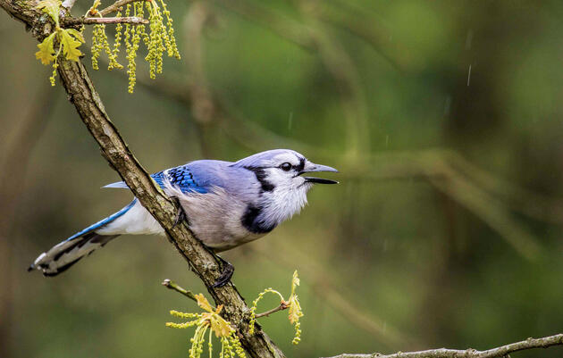 How Well Do You Know the Blue Jay?