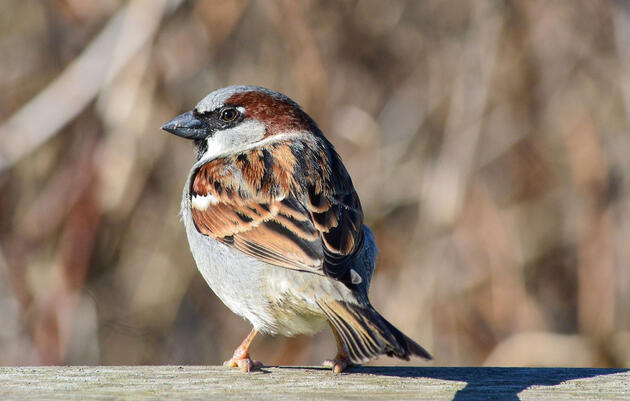 How the House Sparrow Conquered the World Is Encoded in Its Genes