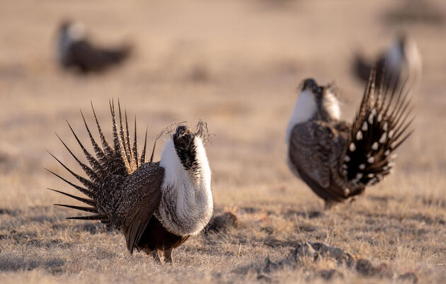 Sage-Grouse Experts Sound the Alarm Over Plunging Population