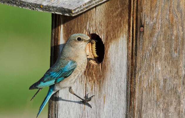 Welcome Bluebirds With Nestboxes