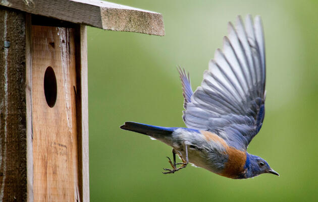 How to Build a Bluebird Nest Box
