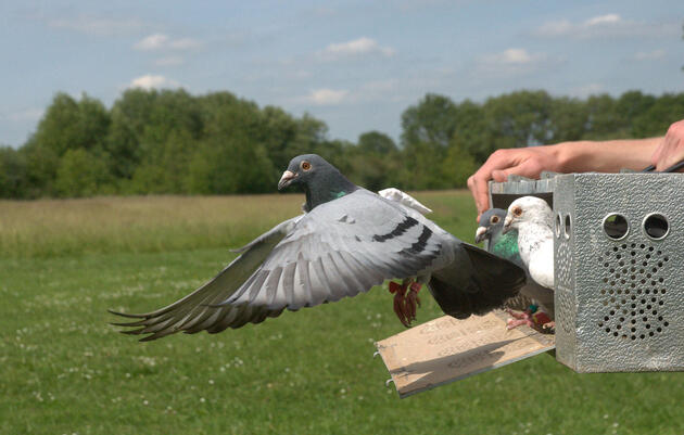 In Homing Pigeon Flocks, Bad Bosses Quickly Get Demoted