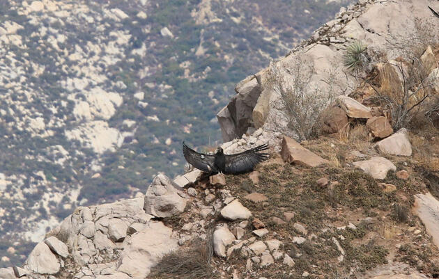 The Search and Recovery of Condor Chick 871, Wildfire Survivor