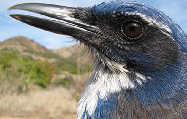 What the Island Scrub-Jay Means for Conservation